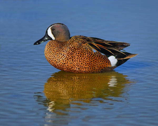 Photograph - Drake Blue-winged Teal by Tony Beck