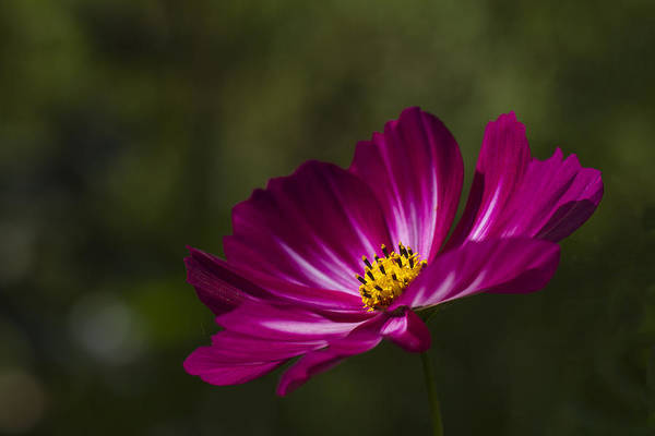 Photograph - Dreamy Pink Cosmos by Clare Bambers