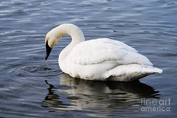 Photograph - Dribbling Swan by Larry Ricker