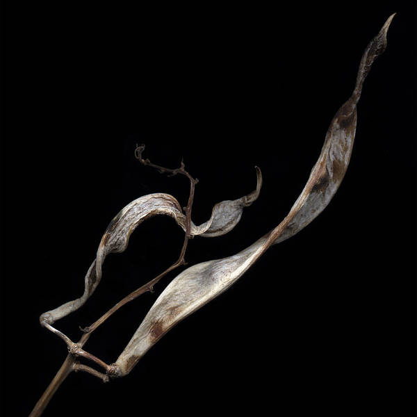 Photograph - Dried Bean by David Kleinsasser