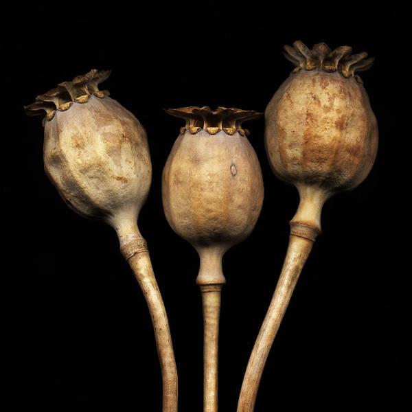Photograph - Dried Poppy Pods by David Kleinsasser