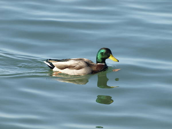 Greenhead Photograph - Duck - 1 by Jeffrey Peterson