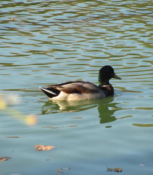 Photograph - Duck 5 by Anita Burgermeister