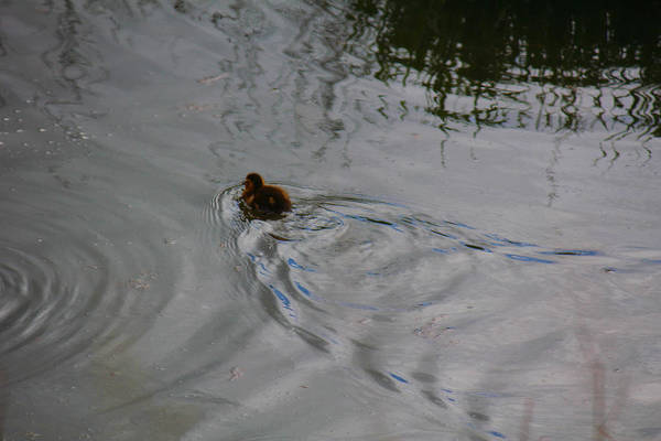 Photograph - Duckling by Donna L Munro
