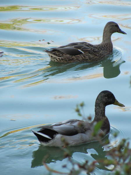 Photograph - Ducks 4 by Anita Burgermeister