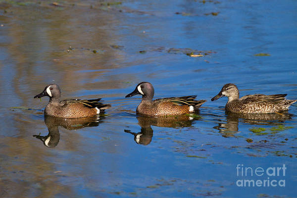 Brazos Bend State Park Wall Art - Photograph - Ducks In A Row by Louise Heusinkveld