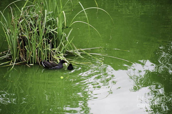 Photograph - Ducks In France by Donna L Munro