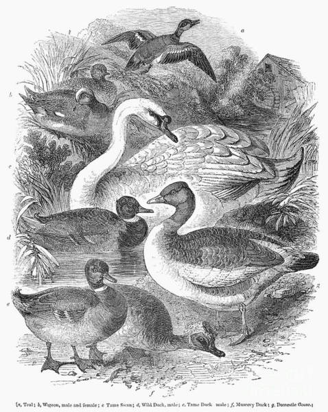 1841 Photograph - Ducks, Swans & Geese by Granger