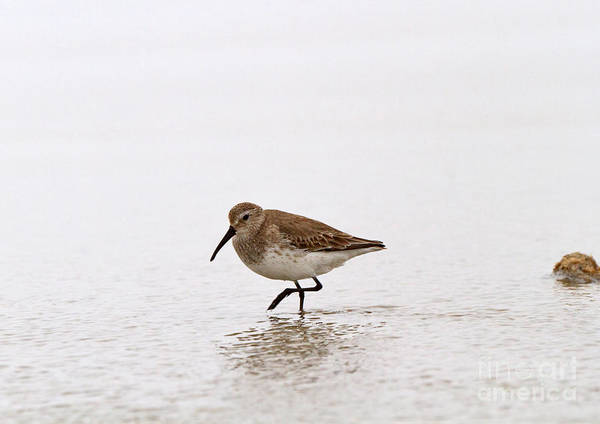 Dunlin Photograph - Dunlin In Winter by Louise Heusinkveld