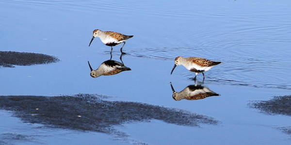 Dunlin Photograph - Dunlins Reflection by Angie Vogel