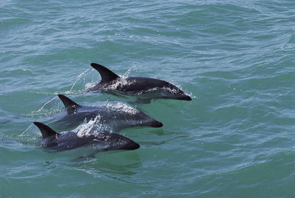 Photograph - Dusky Dolphin Trio Surfacing Kaikoura by Flip Nicklin