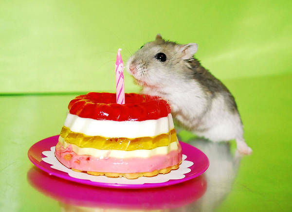 Photograph - Dwarf Hamster With Birthday Cake by Pyza / Puchikumo