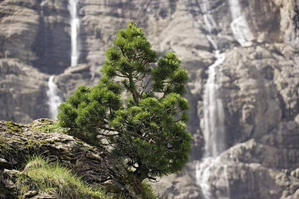 Dwarf Mountain Pine (pinus Uncinata) Art Print