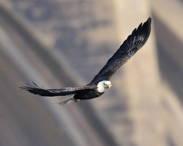 Photograph - Eagle  by Craig Leaper