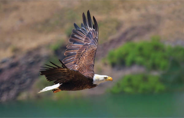 Photograph - Eagle In Flight by Beth Sargent