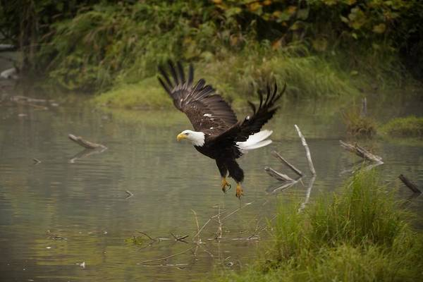 Falconiformes Photograph - Eagle Landing On Waters Edge by Richard Wear