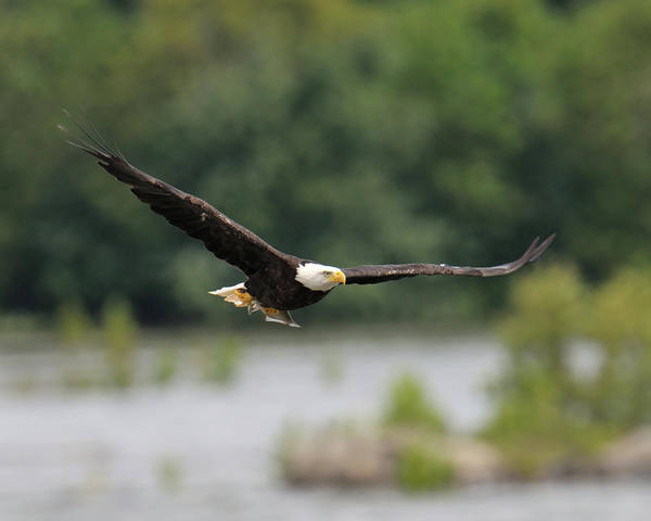 Photograph - Eagle With Fish by Craig Leaper