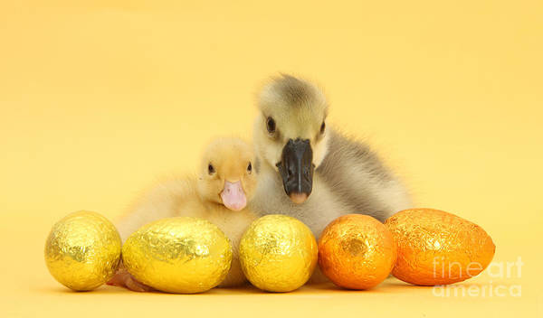 Easter Duckling And Gosling Art Print
