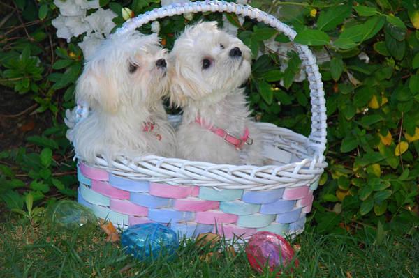 Photograph - Easter Pups by Lynn Bauer