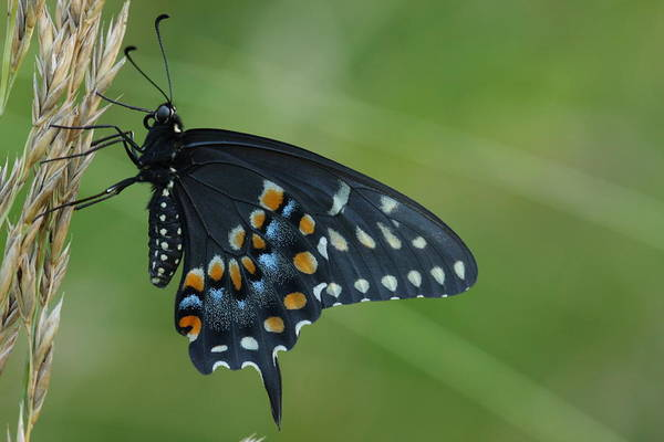 Photograph - Eastern Black Swallowtail Butterfly by Daniel Reed