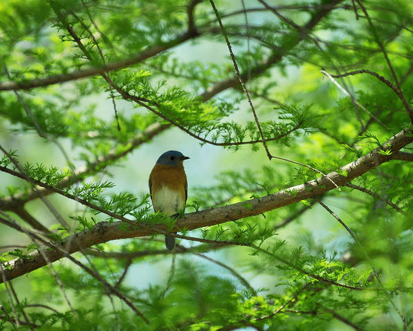Bald Cypress Photograph - Eastern Bluebird In Bald Cypress Tree by Rebecca Sherman