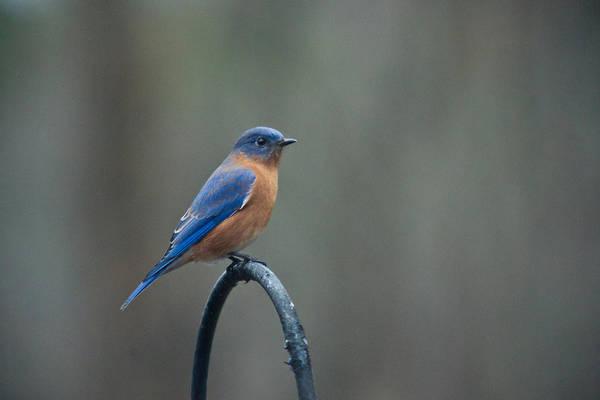 Crossville Wall Art - Photograph - Eastern Bluebird On Perch 3 by Douglas Barnett