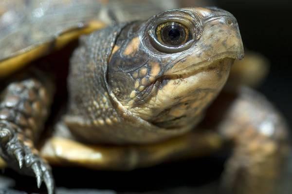 Box Turtle Photograph - Eastern Box Turtle by Georgette Douwma