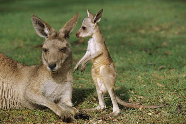 Photograph - Eastern Grey Kangaroo And Joey by Cyril Ruoso