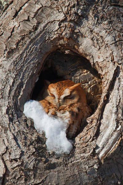 Photograph - Eastern Screech Owl by Dale J Martin