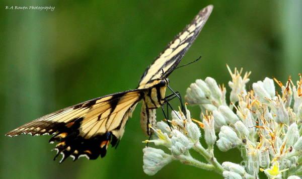 Photograph - Eastern Swallowtail Butterfly by Barbara Bowen