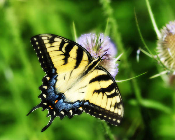 Photograph - Eastern Swallowtail by Craig Leaper