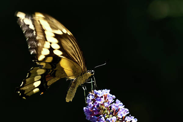 Photograph - Eastern Tiger Swallowtail Butterfly On Butterfly Bush by  Onyonet  Photo Studios