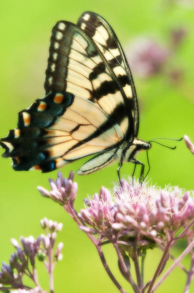 Photograph - Eastern Tiger Swallowtail by Craig Leaper