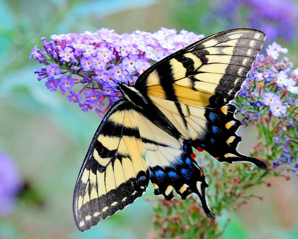 Photograph - Eastern Tiger Swallowtail On Butterfly Bush by Craig Leaper