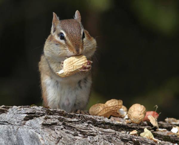 Lamontagne Photograph - Eating Chipmunk by Corinne Lamontagne