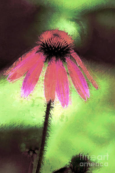 Photograph - Echinacea by Donna Bentley