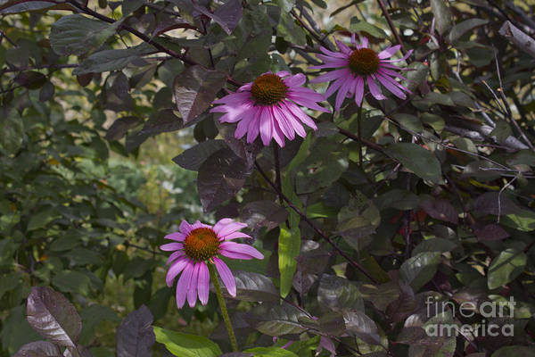 Photograph - Echinacea by Donna L Munro