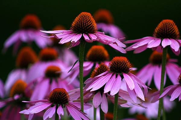 Photograph - Echinacea Flowers by Emanuel Tanjala
