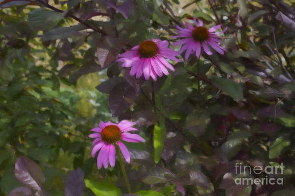 Photograph - Echinacea Paint by Donna L Munro