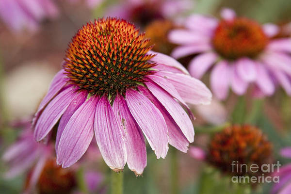 Photograph - Echinacea Purple Coneflowers by James BO Insogna