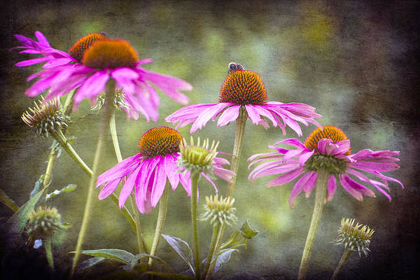 Photograph - Echinacea Purpurea Coneflower. by Clare Bambers
