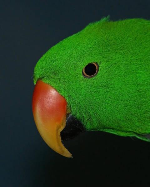 Eclectus Parrots Photograph - Eclectus Parrot by Ernie Echols