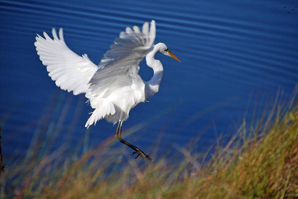 Photograph - Egret  by Bill Hosford