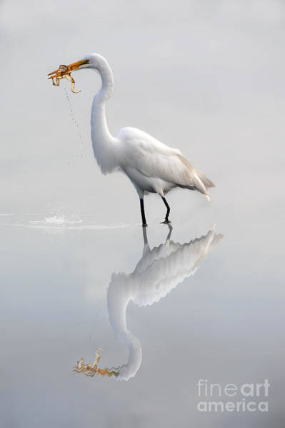 Photograph - Egret Eating Lunch by Dan Friend