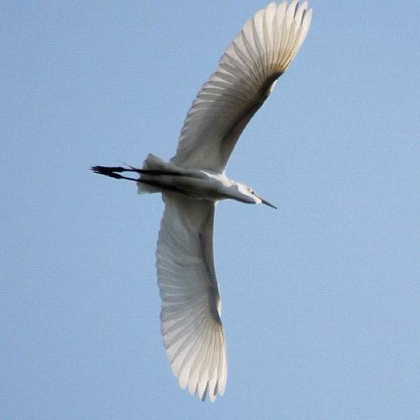 Egret Photograph - Egret Flying Overhead #northshore by Lisa Thomas