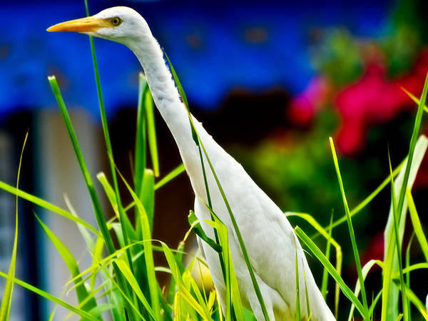 Photograph - Egret In Grass by Daniel Marcion
