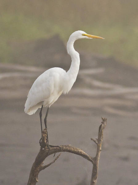 Photograph - Egret In The Fog by Pam  Holdsworth