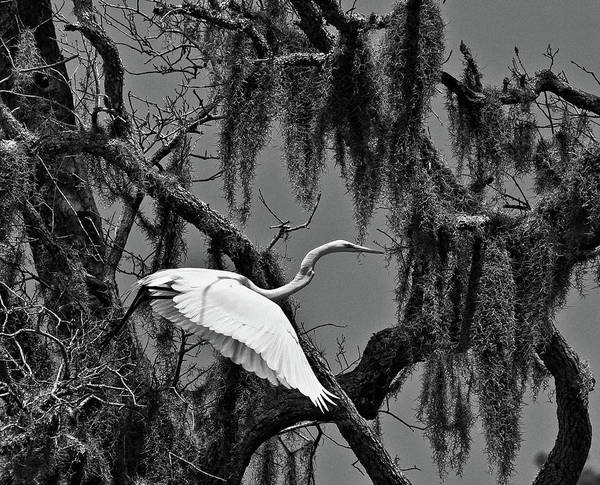 Photograph - Egret In The Moss by Mike Covington
