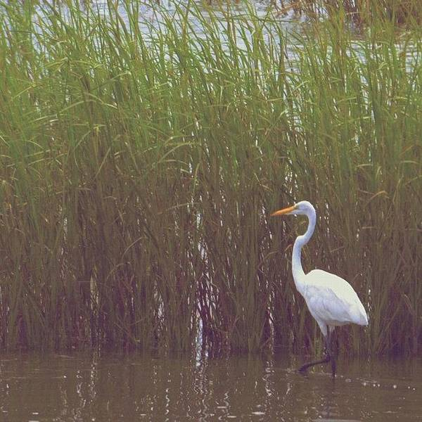 Nature Seekers Photograph - Egret by Penni D'Aulerio