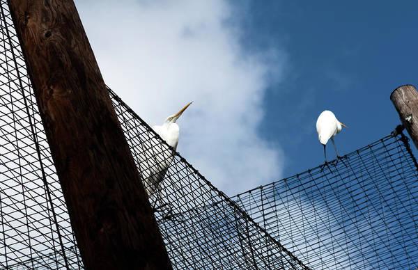 Photograph - Egrets On A Net by Lorraine Devon Wilke